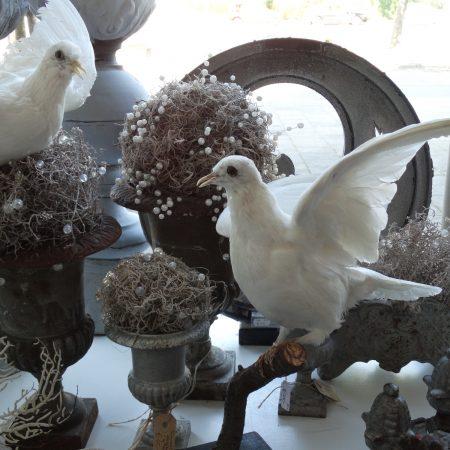 opgezette duif